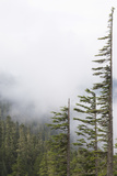 Washington, Mount Rainier National Park. Evergreen Trees in Fog Photographic Print by Jaynes Gallery
