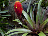Guzman Conifer Bromeliad. La Paz Waterfall Gardens, Costa Rica Photographic Print by Thomas Wiewandt