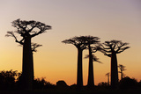 Madagascar, Morondava, Baobab Alley, Adansonia Grandidieri at Sunset Photographic Print by Anthony Asael