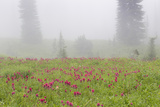 Washington, Mount Rainier National Park. Indian Paintbrush in Foggy Meadow Photographic Print by Jaynes Gallery