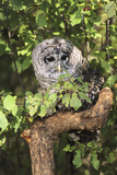 USA, Montana, Kalispell. Barred Owl in Tree at Triple D Game Farm Photographic Print by Jaynes Gallery