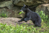 Minnesota, Sandstone, Black Bear Cub with Leaf in Mouth Photographic Print by Rona Schwarz