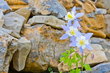 Wyoming, Grand Teton National Park, Close Up of Colorado Columbine Blooming Photographic Print by Elizabeth Boehm