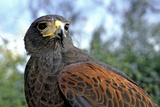 Portrait of a Harris Hawk. Sonora Desert Museum, Tucson, Arizona Photographic Print by Thomas Wiewandt