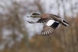 American Widgeon Duck Photographic Print by Ken Archer