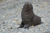 South Georgia. Antarctic Fur Seal, Arctocephalus Gazella, Pup Photographic Print by Inger Hogstrom