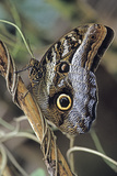 Giant Owl Butterfly. La Selva Reserve, Amazon Basin, Ecuador Photographic Print by Thomas Wiewandt