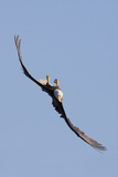 Bald Eagle in Flight, Upside Down Photographic Print by Ken Archer
