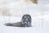 USA, Wyoming, Great Gray Owl Sitting in Snow after Diving for Rodent Photographic Print by Elizabeth Boehm