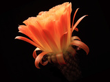 Flower of a Hybrid Torch Cactus. a Cultivar Created by Mark Dimmitt Photographic Print by Thomas Wiewandt
