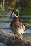 Wood Duck Photographic Print by Ken Archer