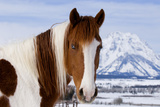 USA, Wyoming, Grand Teton National Park. Pinto Horse and Mount Moran in Winter Photographic Print by Jaynes Gallery
