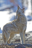 USA, Wyoming, Yellowstone National Park, Coyote Howling on Winter Morning Photographic Print by Elizabeth Boehm