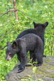Minnesota, Sandstone, Two Black Bear Cubs Standing Back to Back Photographic Print by Rona Schwarz