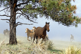 Wild American Mustangs Running, Iram. Black Hills, South Dakota Photographic Print by Thomas Wiewandt