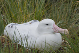 South Georgia. Prion Island. Wandering Albatross on its Nest in Snow Photographic Print by Inger Hogstrom