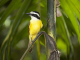 The Great Kiskadee. Zoo Ave, La Garita De Alajuela, Costa Rica Photographic Print by Thomas Wiewandt
