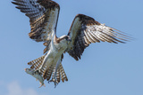 Osprey with Saltwater Catfish in Florida Bay, Everglades National Park, Florida Photographic Print by Maresa Pryor