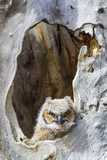 Wyoming, Lincoln County, Great Horned Owlet Looking Out of Nest Photographic Print by Elizabeth Boehm