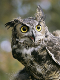 USA, Montana, Kalispell. Great Horned Owl at Triple D Game Farm Photographic Print by Jaynes Gallery