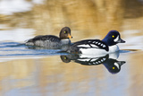 Wyoming, Sublette County, Barrows Goldeneye Pair Swimming in a Pond Photographic Print by Elizabeth Boehm