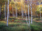 Maine, Acadia National Park, Autumn Colors of White Birch, Betula Papyrifera Photographic Print by Christopher Talbot Frank