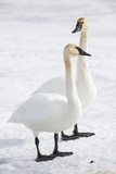 Wyoming, National Elk Refuge, Trumpeter Swan Pair on Snowy Ice Impressão fotográfica por Elizabeth Boehm