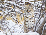USA, Wyoming, Bobcat Sitting in Snow Covered Branches Photographic Print by Elizabeth Boehm
