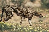 South Africa, Kalahari Gemsbok National Park, Cheetah Walks in Field of Flowers Photographic Print by Paul Souders