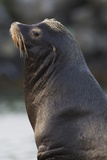 California Sea Lion Photographic Print by Ken Archer