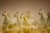 White Horses of Camargue, France Running in Mediterranean Water Photographic Print by Sheila Haddad