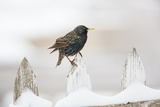 Wichita County, Texas. European Starling on Picket Fence Photographic Print by Larry Ditto