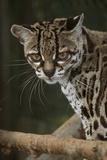 The Margay. Costa Rica under Controlled Conditions Photographic Print by Thomas Wiewandt
