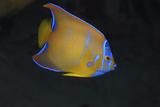Juvenile Queen Angelfish. Curacao, Netherlands Antilles Reprodukcja zdjęcia autor Barry Brown