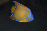 Juvenile Queen Angelfish. Curacao, Netherlands Antilles Photographic Print by Barry Brown