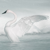 USA, Wyoming, Trumpeter Swan Stretches Wings on a Cold Winter Morning Photographic Print by Elizabeth Boehm