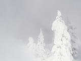 Elizabeth Boehm - Wyoming, Yellowstone National Park, Frosted Lodgepole Pine Trees in Winter - Fotografik Baskı