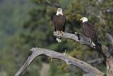 Bald Eagle Pair Photographic Print by Ken Archer