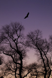 Bald Eagle Pair Silhouette in Oak Trees Photographic Print by Ken Archer