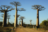 Madagascar, Morondava, Baobab Alley, Tourist Taking Pictures Photographic Print by Anthony Asael