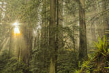 Redwood Trees in Morning Fog with Sunrays Photographic Print by Terry Eggers