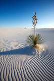 Yucca in Sand, White Sand Dunes National Monument, New Mexico Photographic Print by Susan Degginger