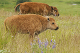 Bison Calves, Yellowstone National Park Photographic Print by Ken Archer