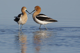 American Avocet Pair Photographic Print by Ken Archer