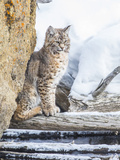 Wyoming, Yellowstone National Park, a Bobcat Sits Along the Madison River, Winter Photographic Print by Elizabeth Boehm