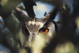 Botswana, Spotted Eagle Owl, Bubo Africanus, Close Up Photographic Print by Stuart Westmorland