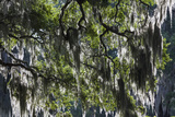 Georgia, Jekyll Island, Live Oak Trees Photographic Print by Walter Bibikow