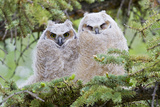 USA, Wyoming, Two Fledged Great Horned Owl Chicks Roosting in Conifer Photographic Print by Elizabeth Boehm