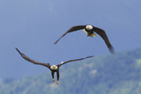Bald Eagle Pair, Courtship Photographic Print by Ken Archer