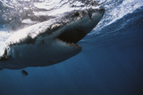 South Africa, Great White Shark with its Mouth Open Photographic Print by Stuart Westmorland